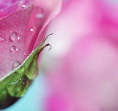 Soft focus rose flower background. Made with lens-baby and macro — Stock Photo