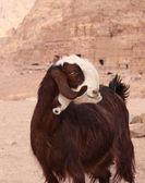 Unusual goat in Petra — Stock Photo