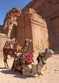Two camels near ancient ruins in Petra — Stock Photo