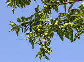 Young green apples on a branch — Stock Photo