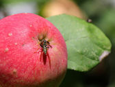 Wasp sits on a ripe apple — Stock Photo