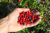 Human palm full of berries, cowberry and blueberries — Stock Photo
