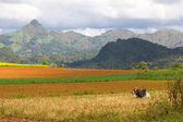 Zebu cow and plowed fields, hills and mountains in the backgroun — Stock Photo