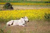 Zebu cow on a field of yellow flowers — Stock Photo