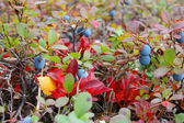 Small bush of ripe bog bilberry in the forest, closeup — Stock Photo