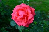 Jediné růže — Stock fotografie