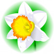 Daffodil — Vector de stock #34425359