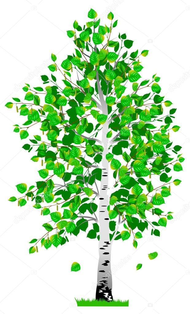 Береза картинка дерева