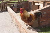 Chicken or cockerel sitting on farm wall — Stock Photo