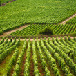 Vineyards in Gevrey chambertin burgundy France - Stock Photo