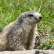 Marmot in the alps — Stock Photo