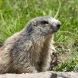 Marmot in the alps — Photo