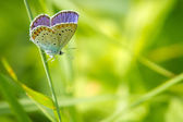 Polyommatus icarus in nature — Stock Photo