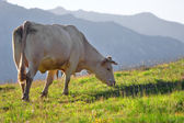 Cow in a prairie — Stockfoto