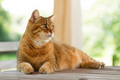 Lovely red cat on wooden table — Stock Photo