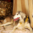 Galgo sitting in front old carpet - Stock Photo
