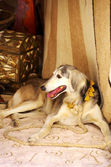 Galgo sitting in front old carpet — Stock Photo