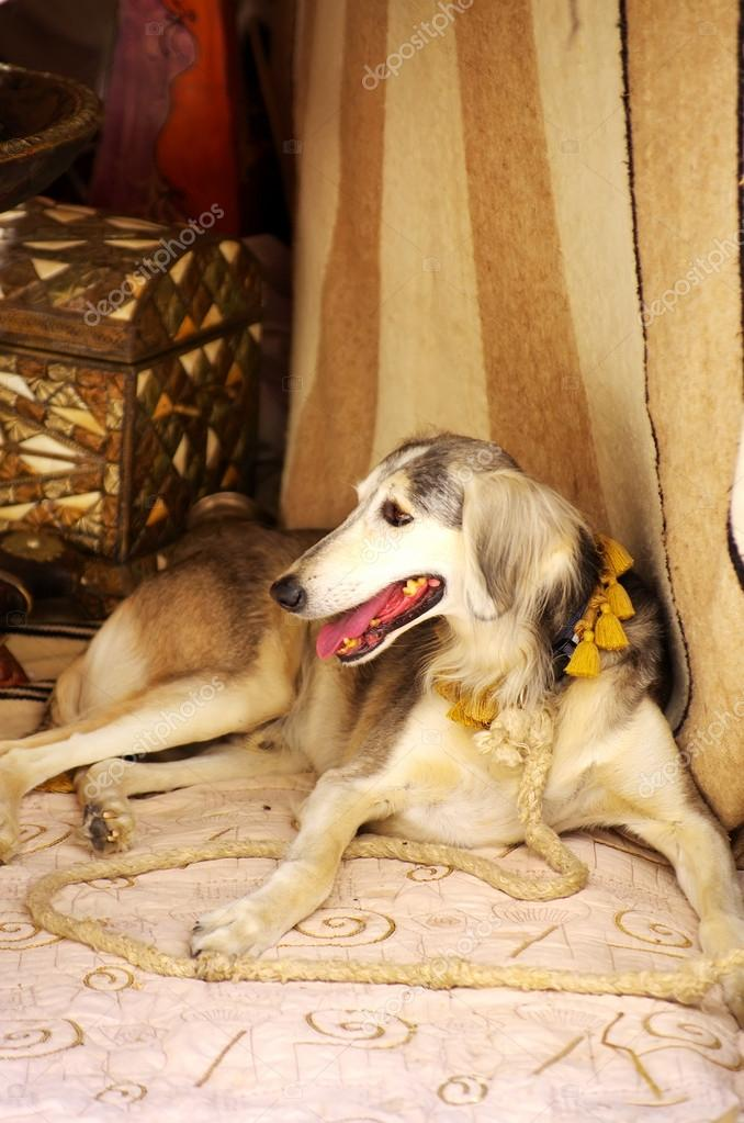 Galgo sitting in front old carpet — Stock Photo #12019756