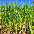 Rows of green maize at field of Portugal - Stock Photo