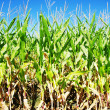 Rows of green maize in field - Stock Photo