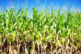 Rows of green maize in field — Stock Photo
