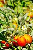 Ripe tomatoes on field — Stock Photo