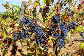 Grapes on vineyard — 图库照片
