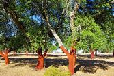 Cork Trees Stripped — Stock Photo