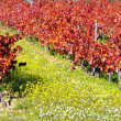 Autumn vineyard at Portugal — Stock Photo
