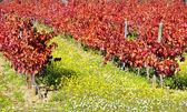 Autumn vineyard at Portugal — Stock Photo