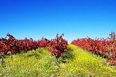 Jesień winnicy w portugalii, w regionie alentejo — Zdjęcie stockowe