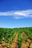 Green cornfield at south of Portugal — Stock Photo
