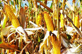 Yellow Corn in autumn — Stock Photo