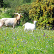 Goats on green field at Portugal — Stock Photo