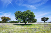 Oak trees on spring at Portugal — Stock Photo