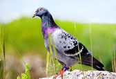 Pigeon sitting on rock in park with blurry background — Stock Photo
