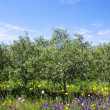 Stock Photo: Olives tree at portuguese field