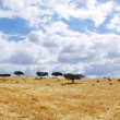 Landscape of straw field at Portugal — Stock Photo #25570339