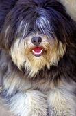 Portuguese shepherd dog — Stock Photo