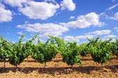 Green vineyard at south of Portugal — Stock Photo