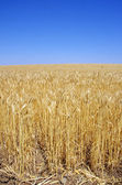 Ripe spikes of wheat at alentejo region, Portugal — Stock Photo