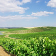 Stock Photo: Vineyard at Portugal, Alentejo region.