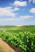 Vineyard at Portugal, Alentejo region. — Stock Photo