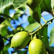 Two lemons on tree — Stock Photo