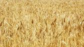 成熟的穗状花序的小麦背景 — 图库照片