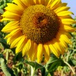 Closeup of sunflower in field — Stock Photo