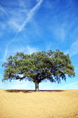 Oak tree, Alentejo region, Portugal — Stock Photo
