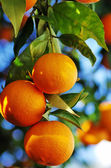 Ripe oranges hanging on tree — Foto de Stock