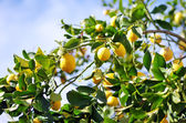 Lemons on lemon tree — Stock Photo