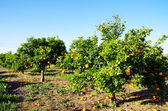 Orange orchard in south of Portugal — Stock Photo